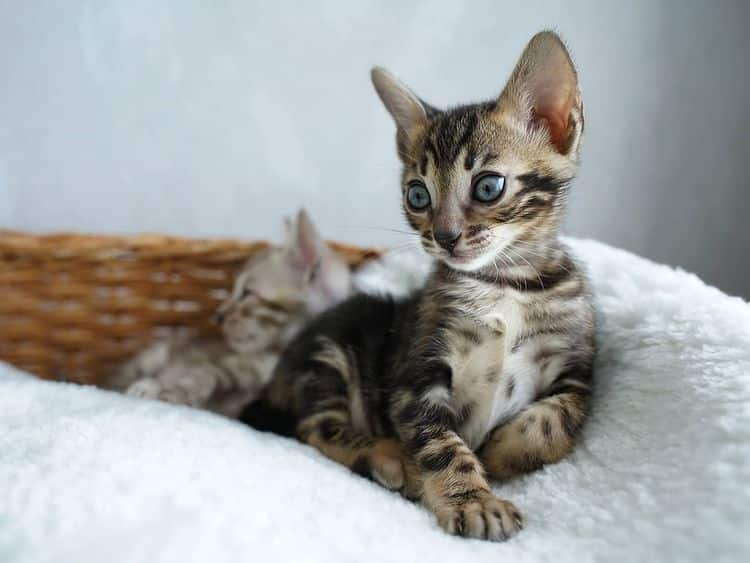Benny Bengal Kittens For Sale